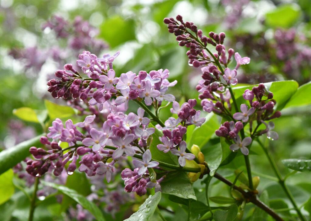 Lilacs, Prospect Park