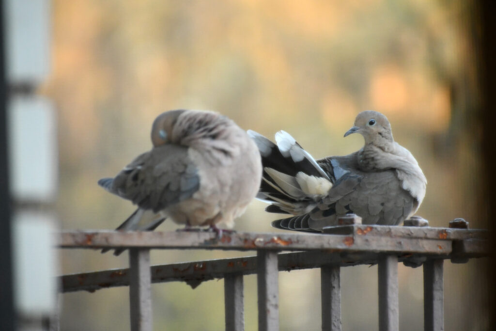 Mourning doves, preening