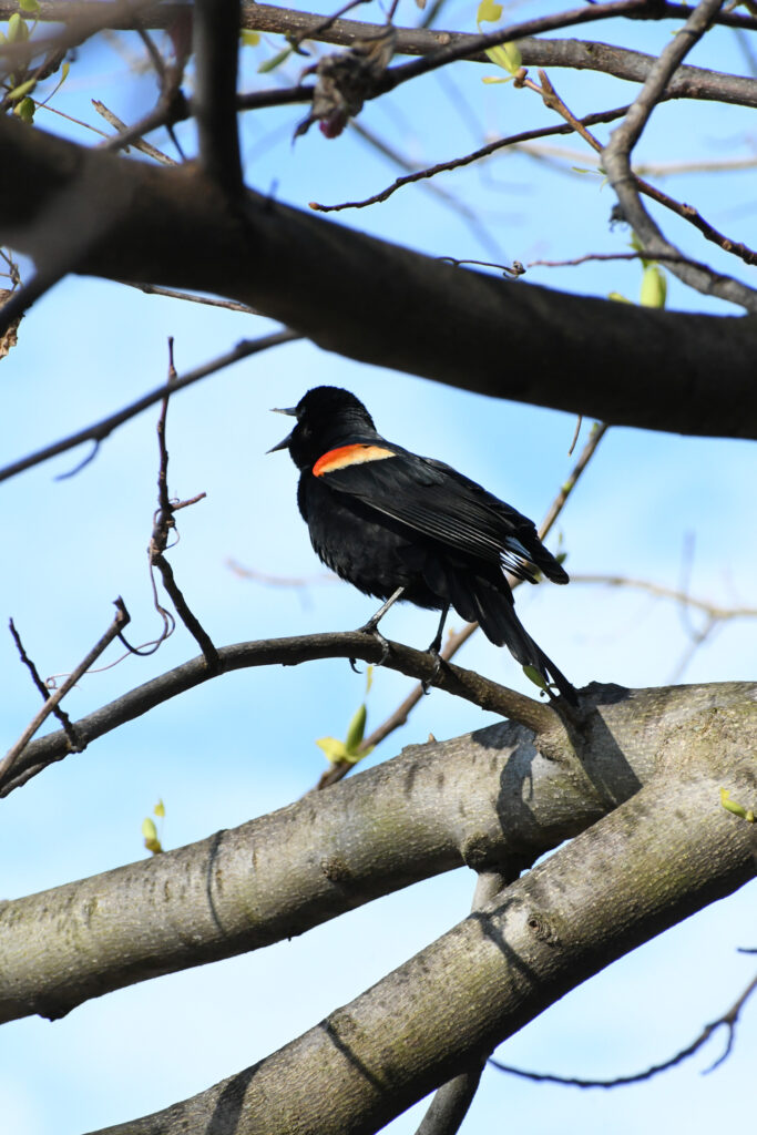 Red-winged blackbird, Prospect Park