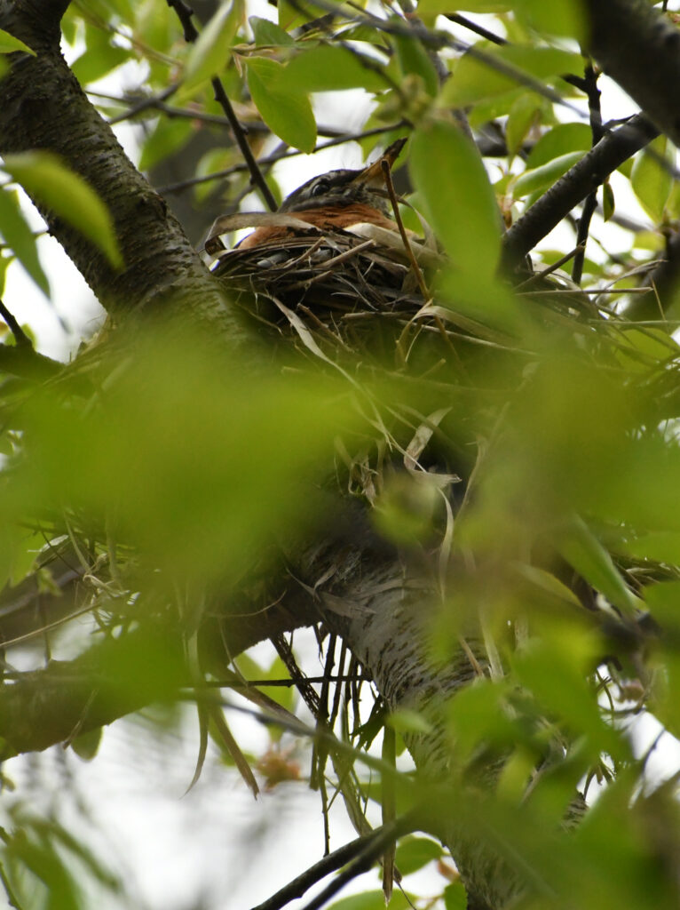 Robin on nest, Prospect Park