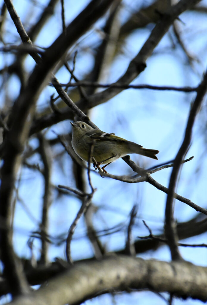 Ruby-crowned kinglet (ruby crown not visible), Prospect Park