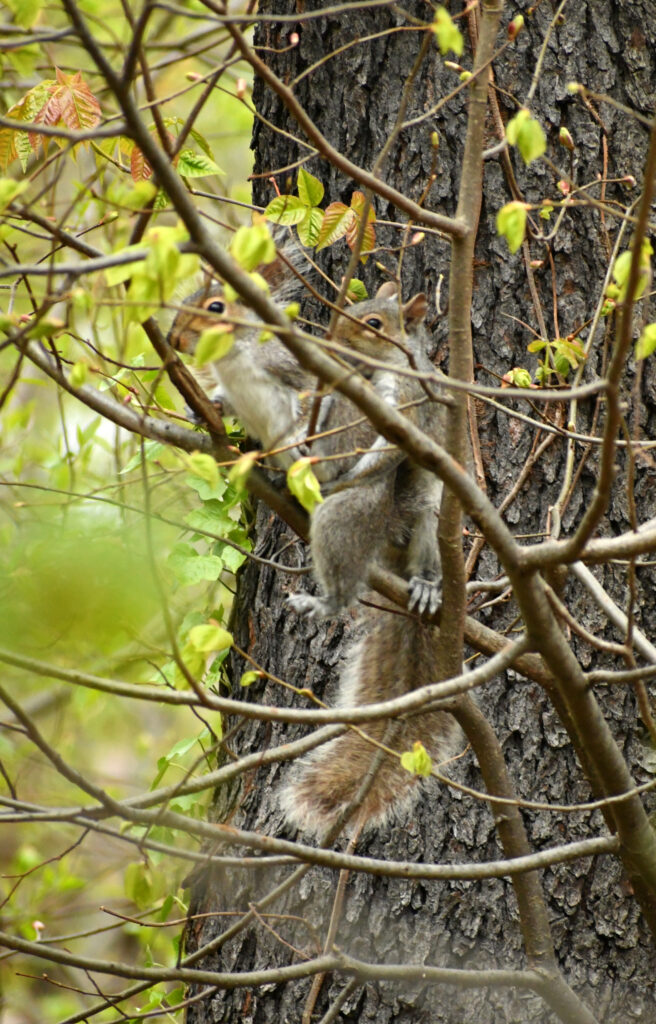 Squirrels a tergo, Prospect Park