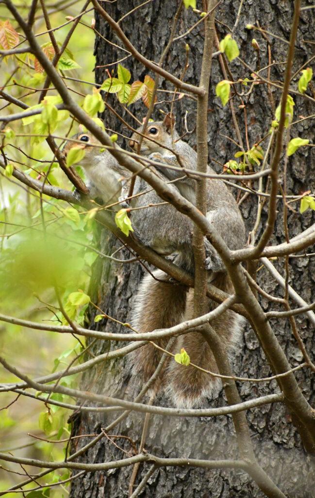 Squirrels interruptus, Prospect Park