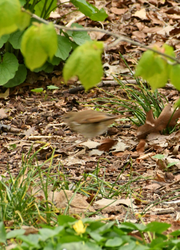 Veery, in motion, Prospect Park