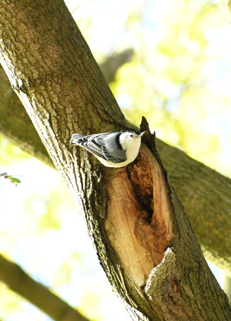 White-breasted nuthatch, Prospect Park