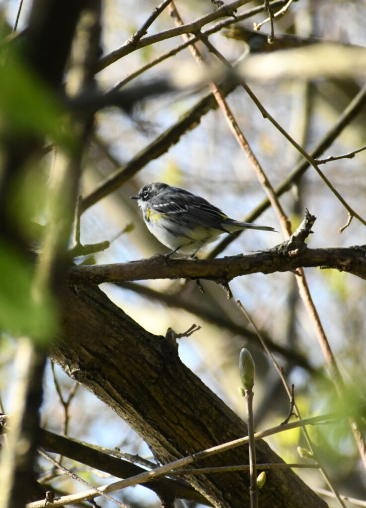 Yellow-rumped warbler, Prospect Park
