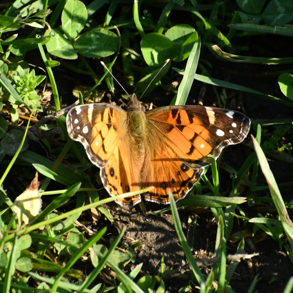 American Lady butterfly, Prospect Park
