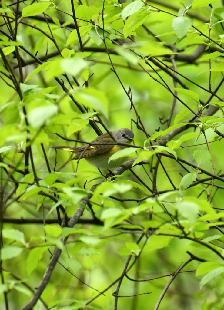 American redstart (female or juvenile male), Prospect Park