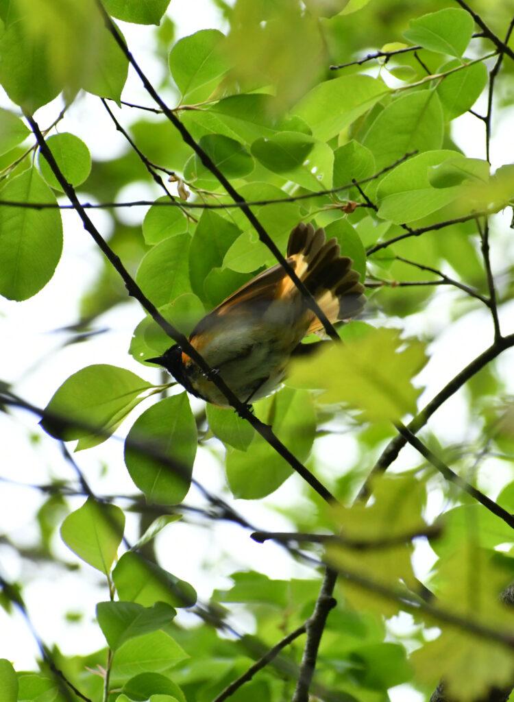 American redstart (male), Prospect Park