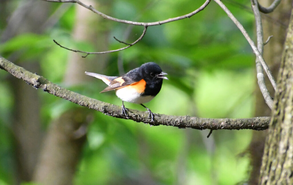 American redstart (male), singing, Prospect Park