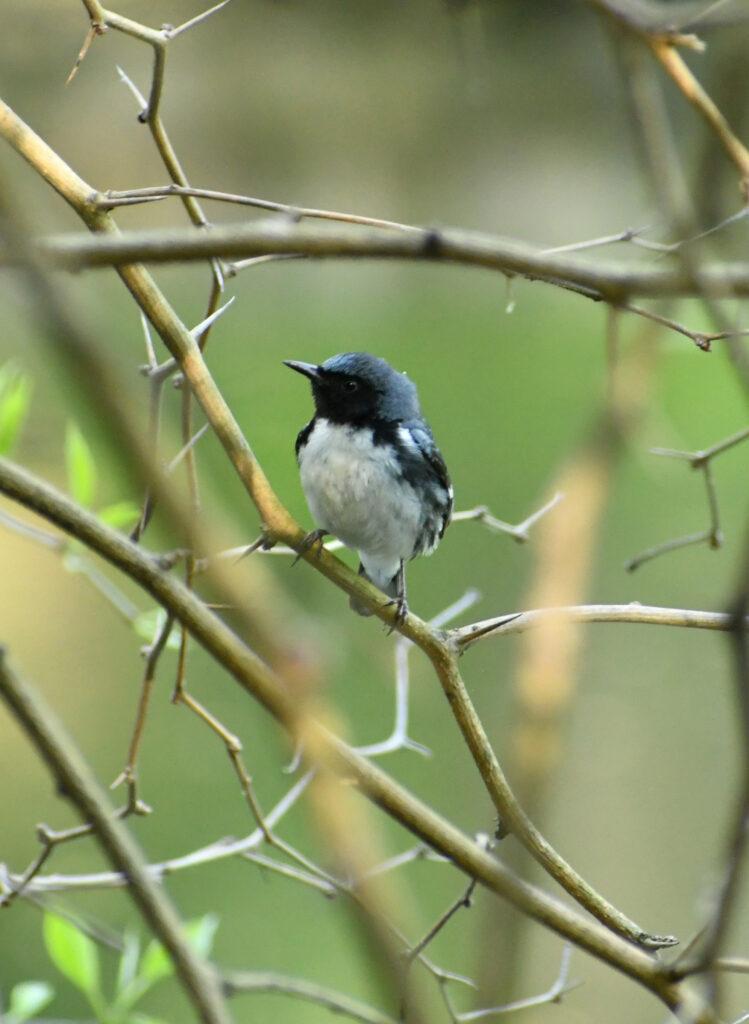 Black-throated blue warbler, Prospect Park