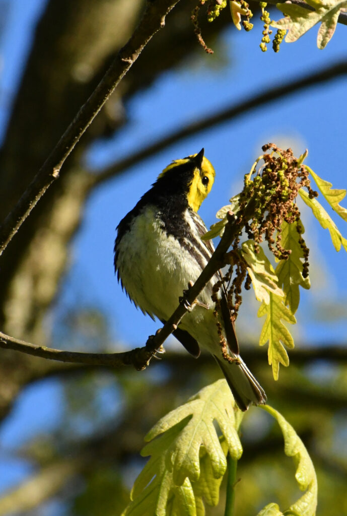 Black-throated green warbler, Prospect Park