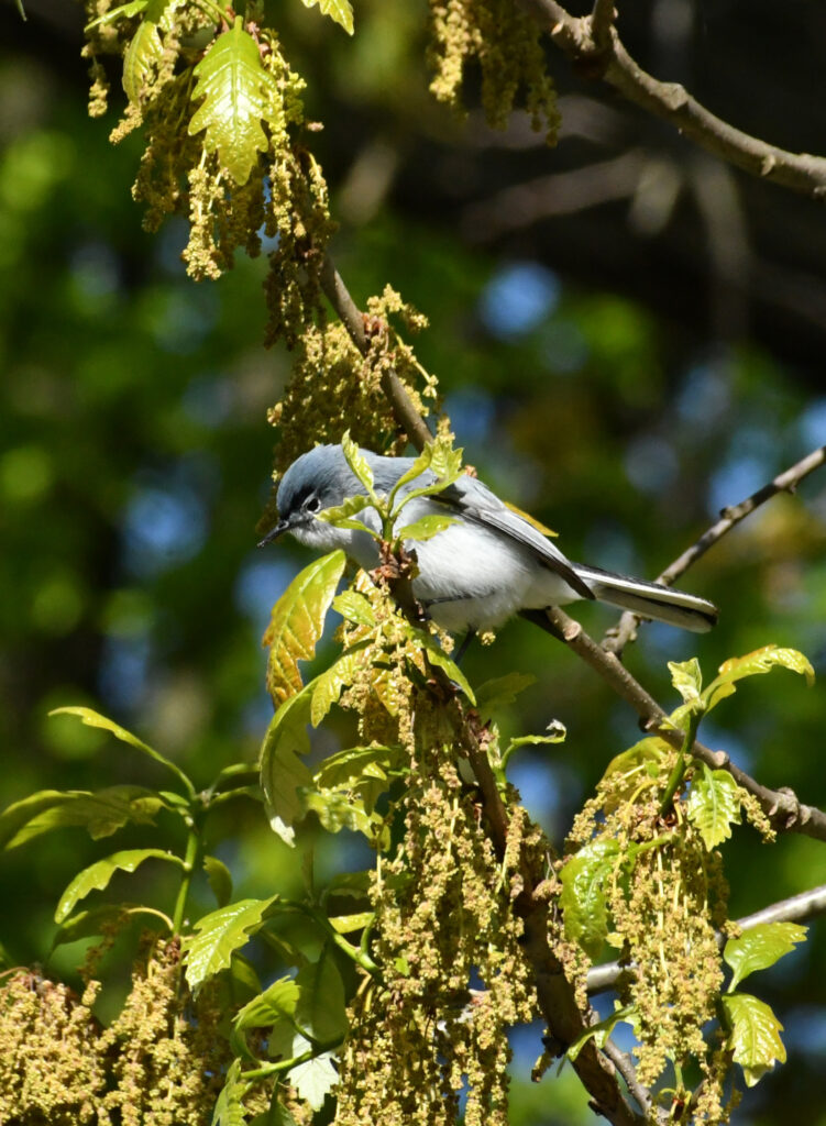 Blue-gray gnatcatcher, Prospect Park