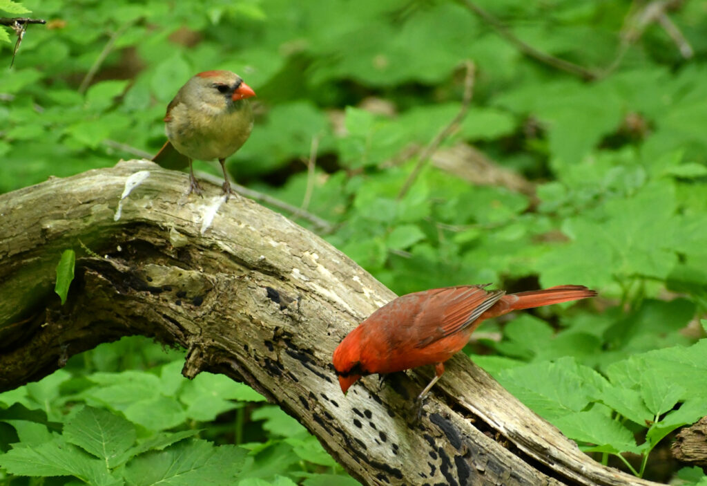 Cardinals, female and male, Prospect Park