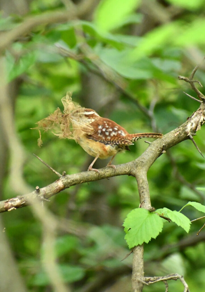Carolina wren with leaf skeleton, Prospect Park