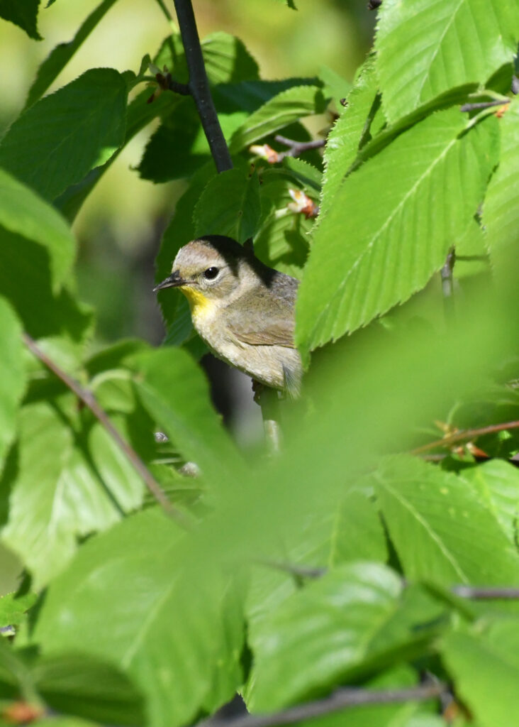 Common yellowthroat (female), Bear Mountain State Park