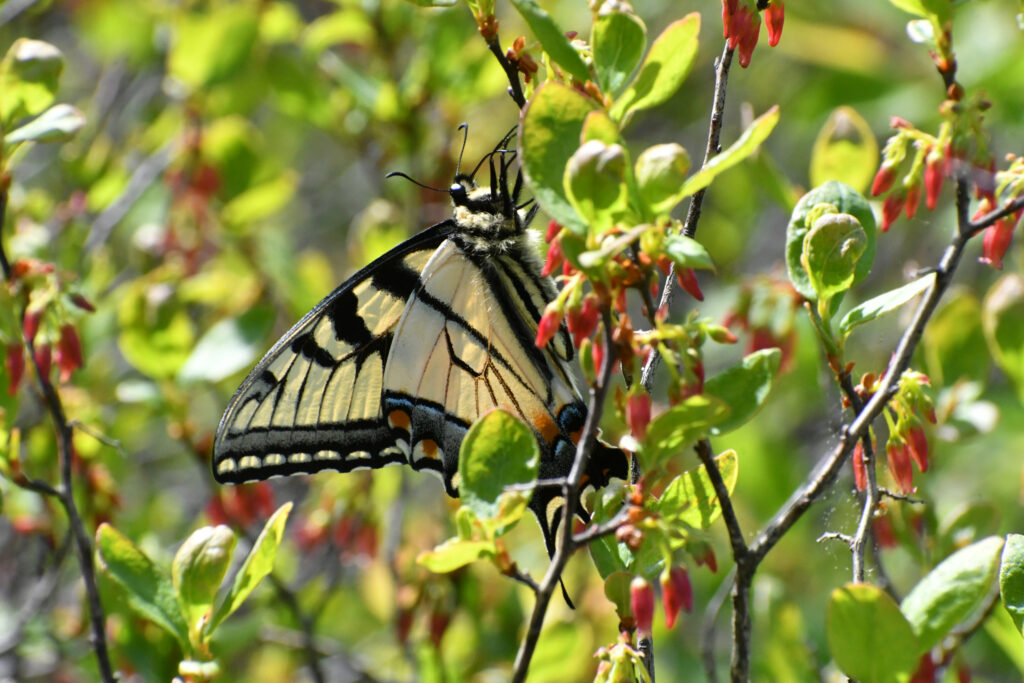 Eastern tiger swallowtail, Bear Mountain State Park