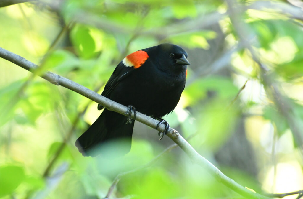 Red-winged blackbird, Prospect Park