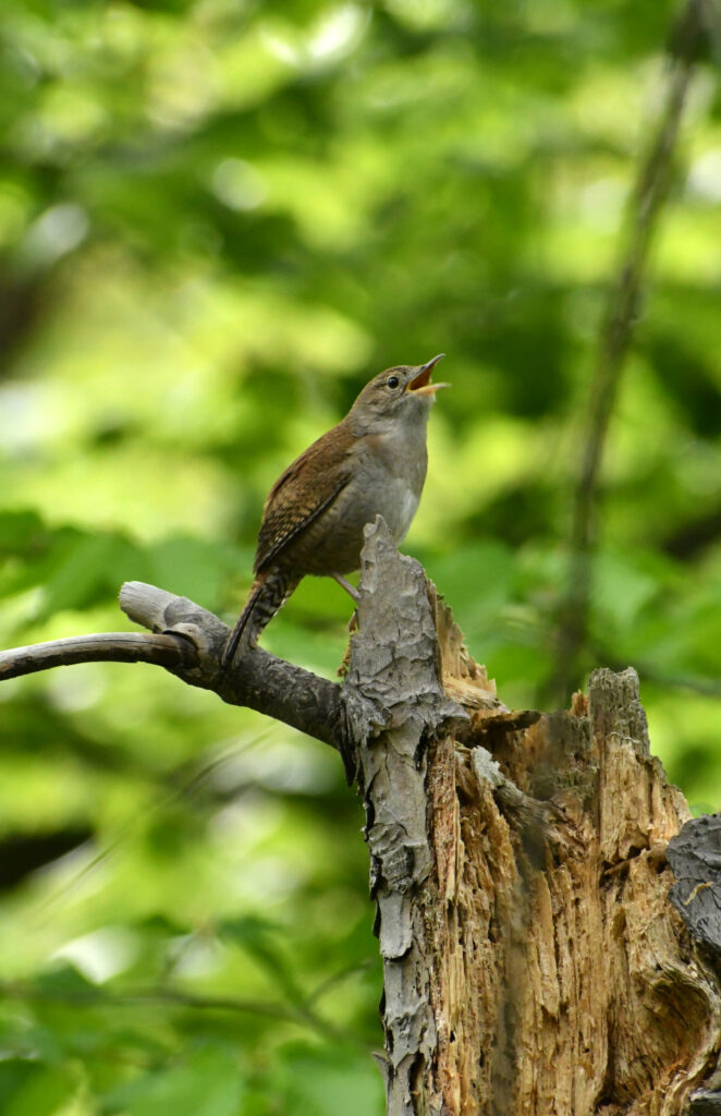House wren, singing, Prospect Park