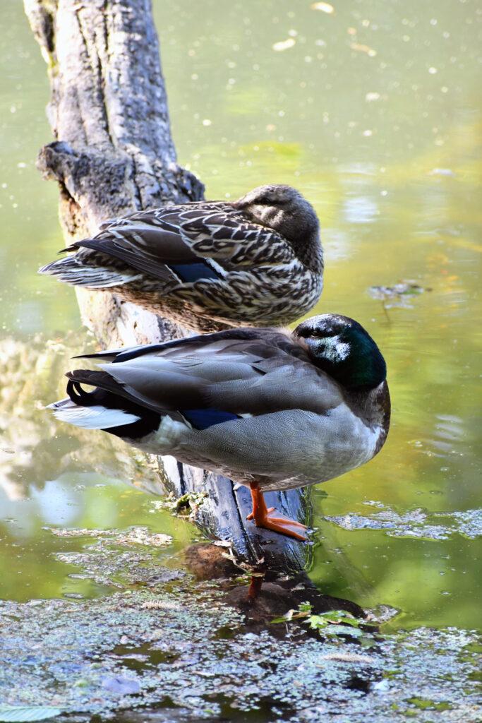 Mallard ducks, Prospect Park