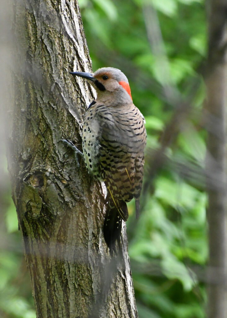 Northern flicker, Prospect Park