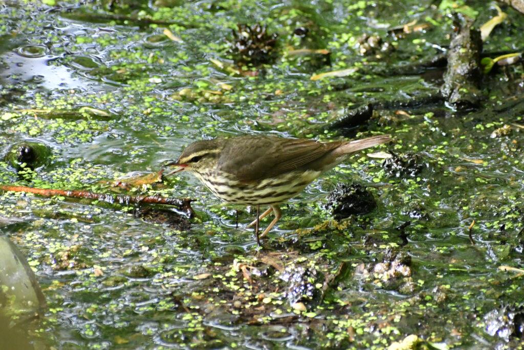 Northern waterthrush (yellowish adult), Prospect Park