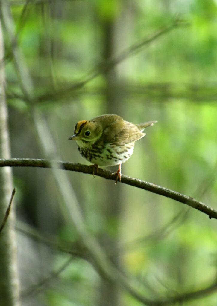 Ovenbird, Prospect Park