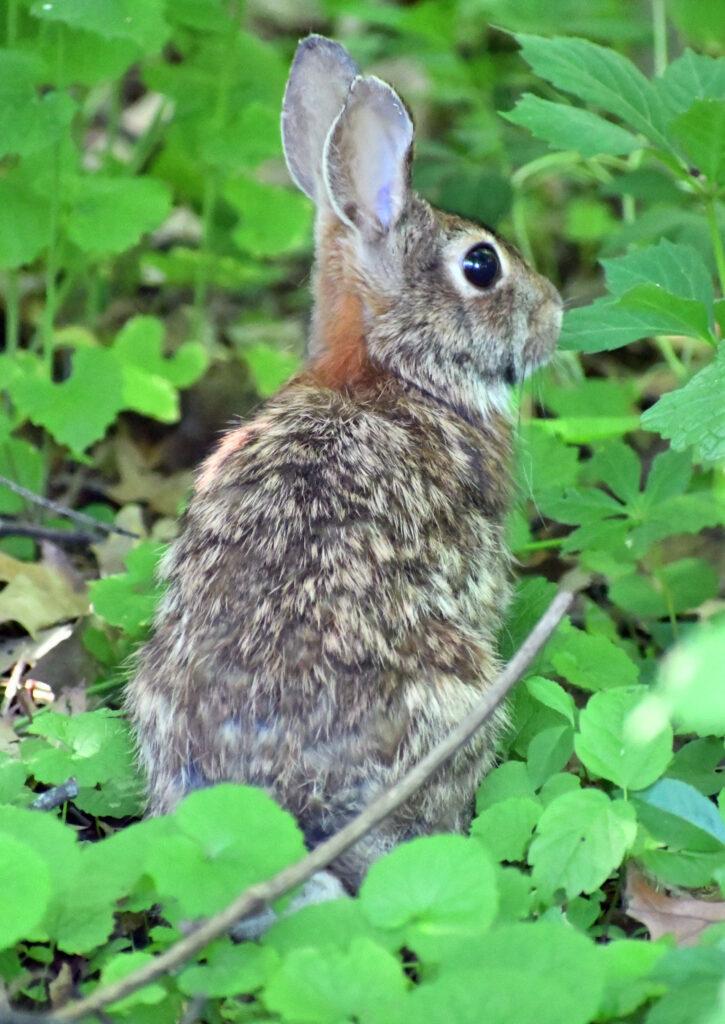 Rabbit, Prospect Park