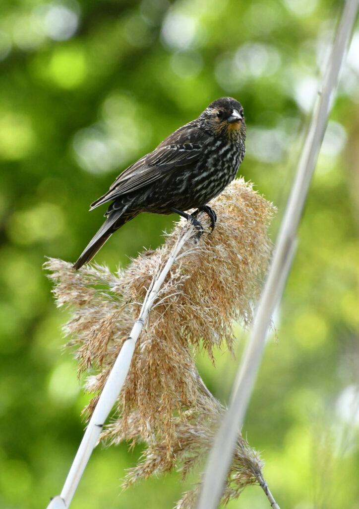 Red-winged blackbird (female), Prospect Park
