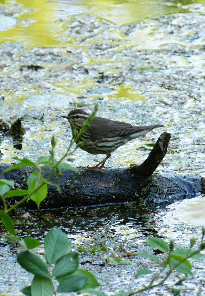 Water thrush, Prospect Park