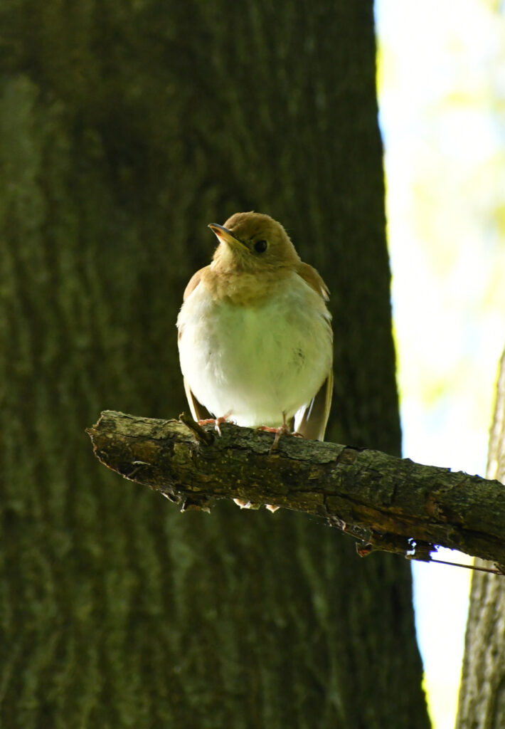 Veery (maybe?), Prospect Park
