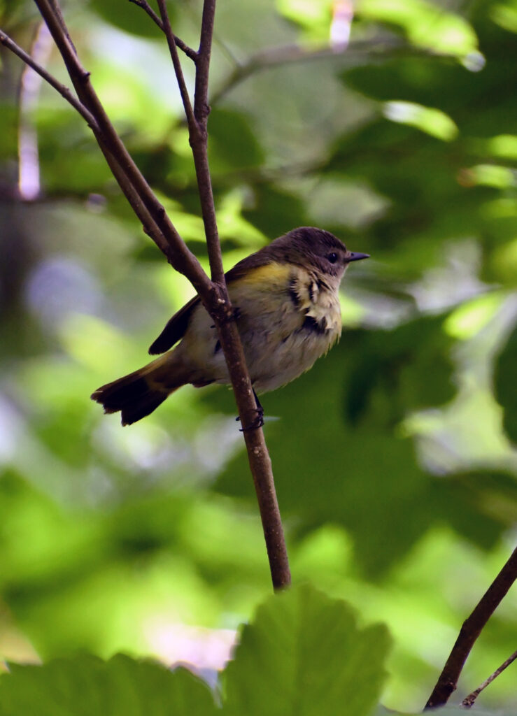 Unknown warbler, touch of yellow, Prospect Park