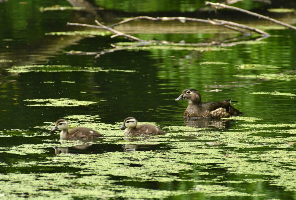 Wood duck and two ducklings, Prospect Park