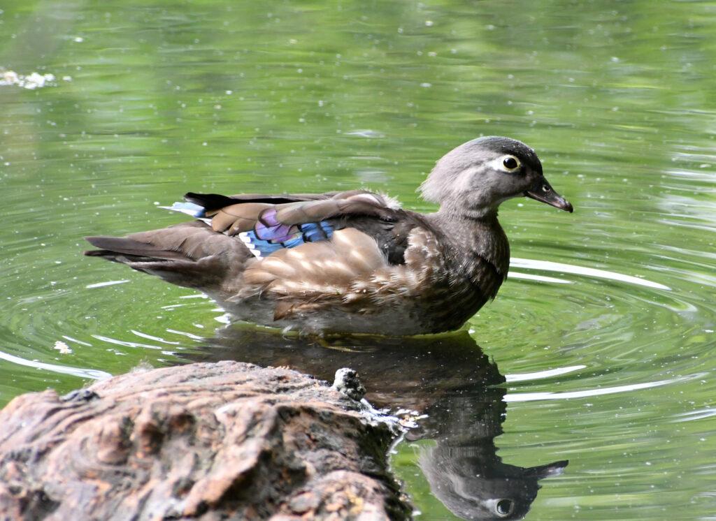 Wood duck (female), Prospect Park