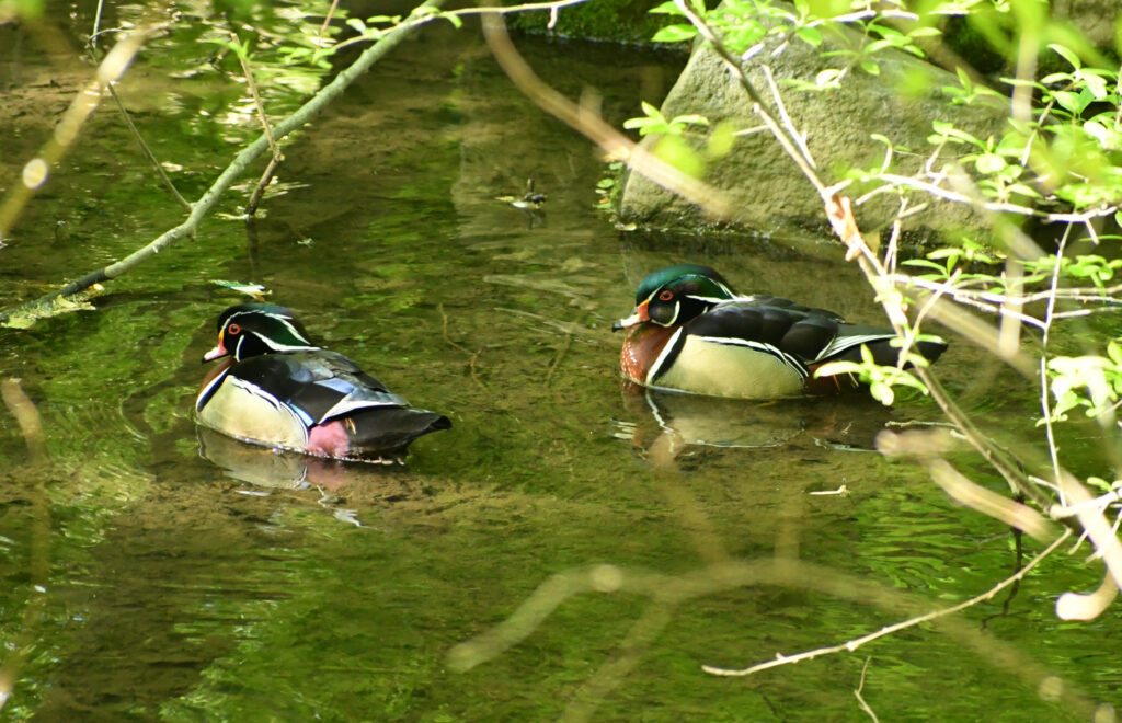 Wood ducks (male), Prospect Park