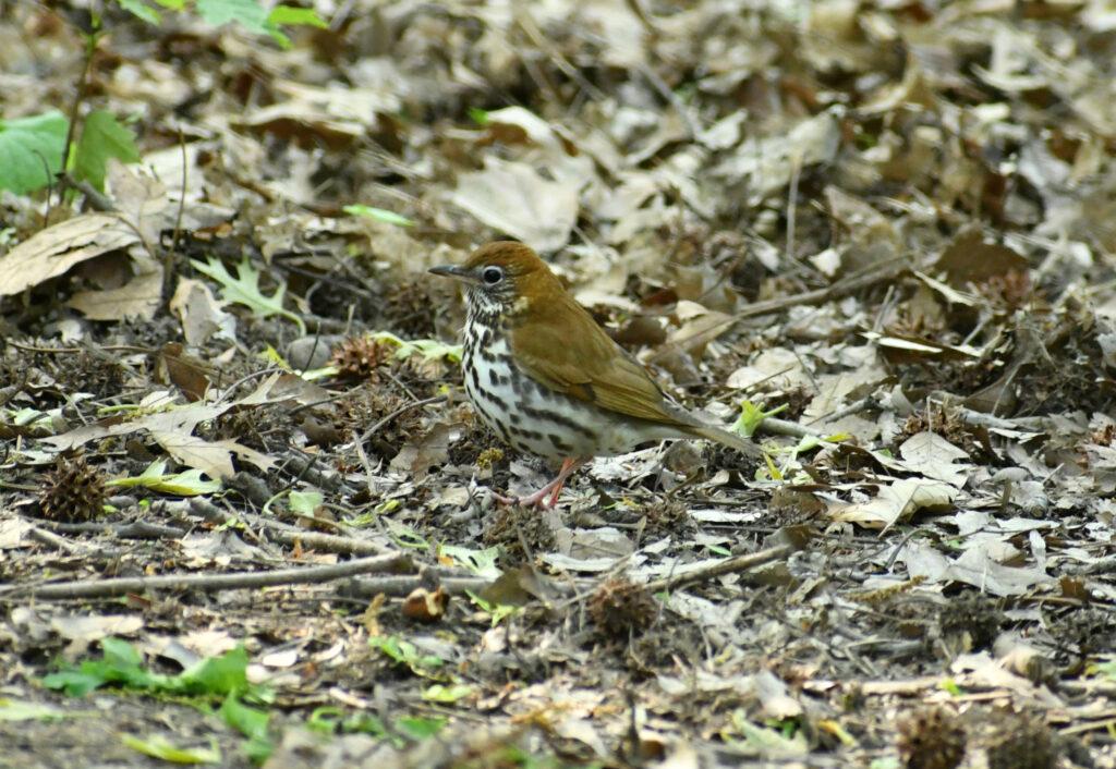 Wood thrush, Prospect Park