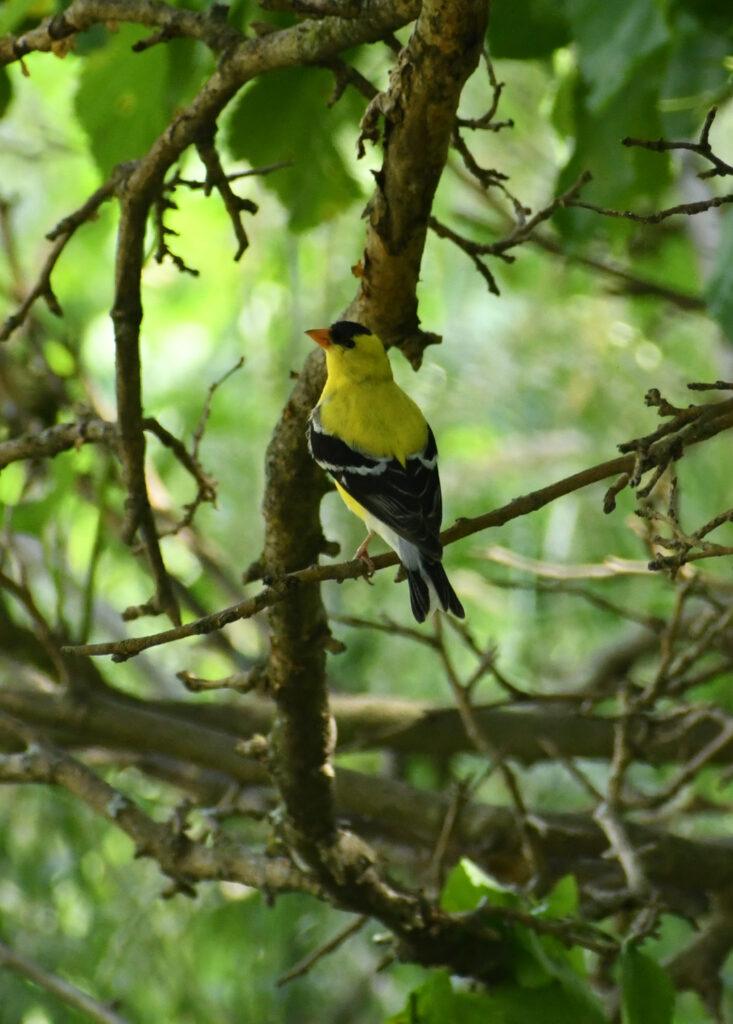 American goldfinch, Rockefeller State Park Preserve