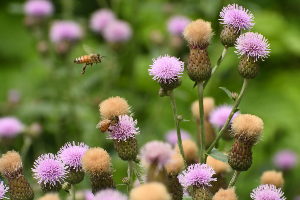 Bees and thistles, Prospect Park