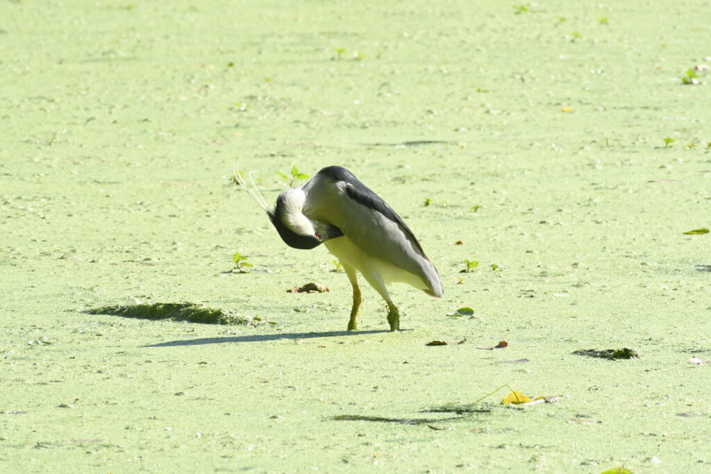 Black-crowned night heron, Prospect Park