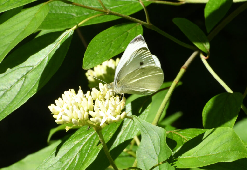 Cabbage white butterfly, Prospect Park