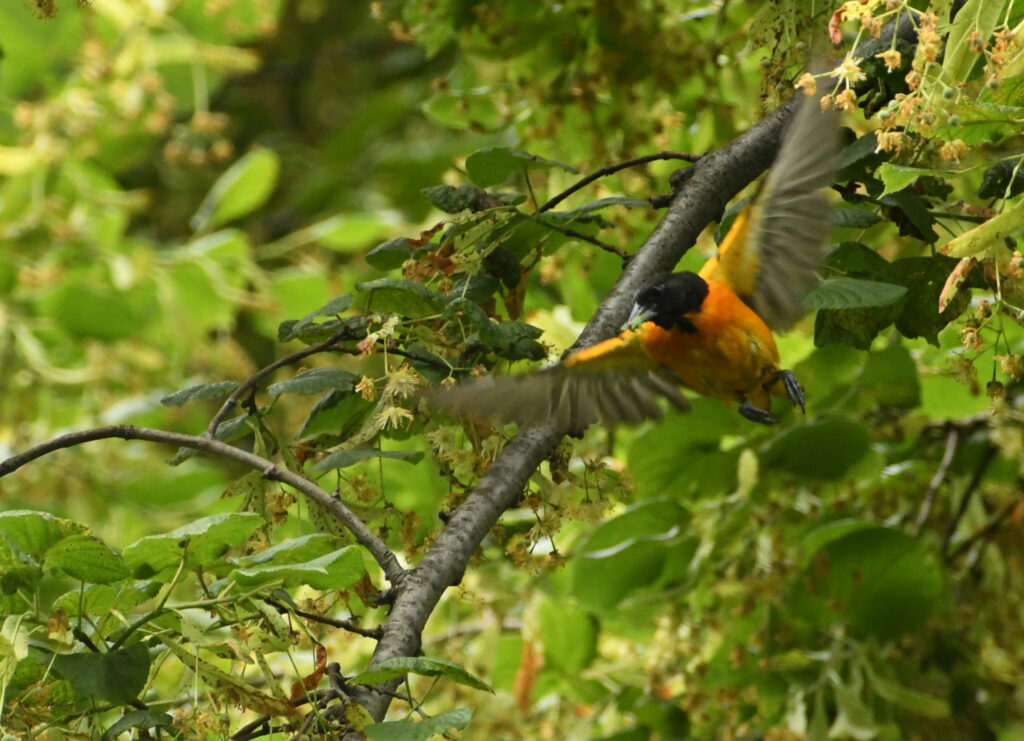 Baltimore oriole, bringing food to nest, Prospect Park