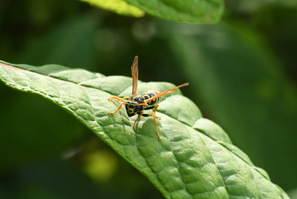 Paper wasp, Prospect Park