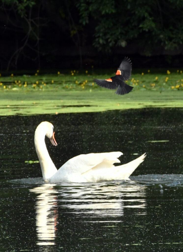 Red-winged blackbird, dive-bombing a swan, Prospect Park
