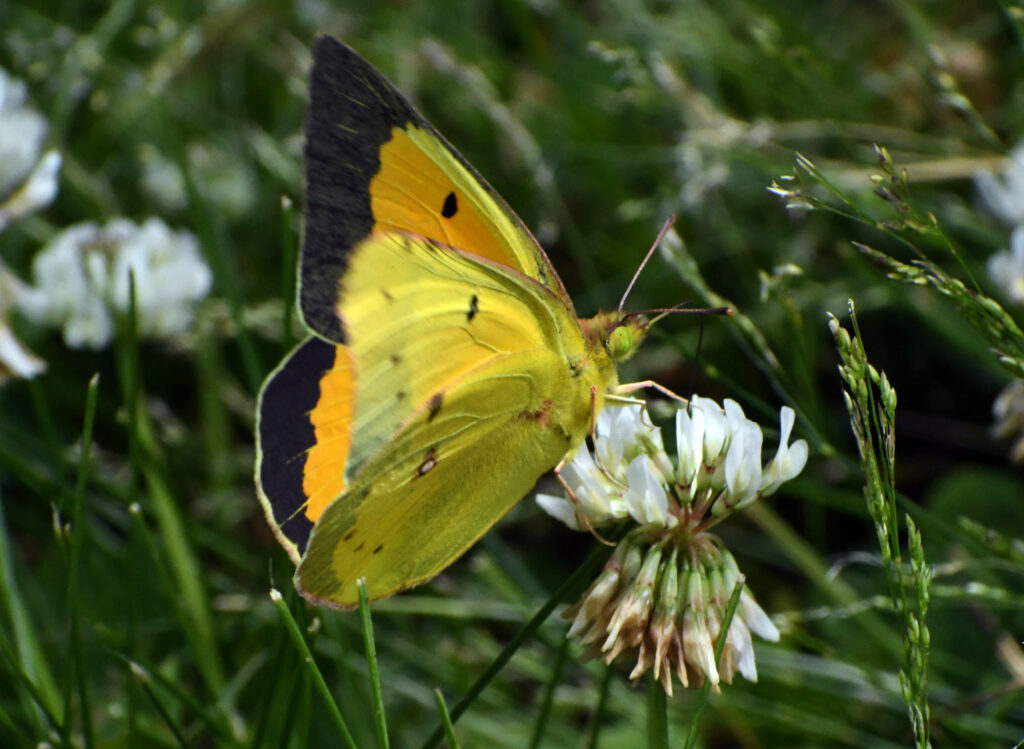 Sleepy orange sulphur, Green-wood Cemetery