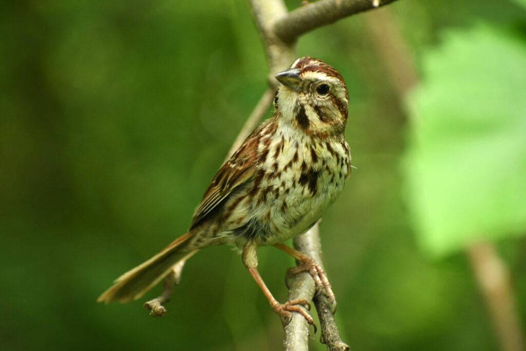 Song sparrow, Prospect Park