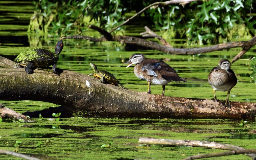 Turtles and wood ducks, Prospect Park