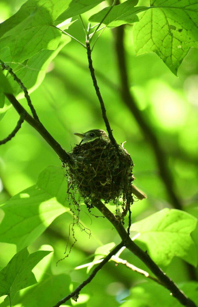 Warbling vireo, in nest, Prospect Park