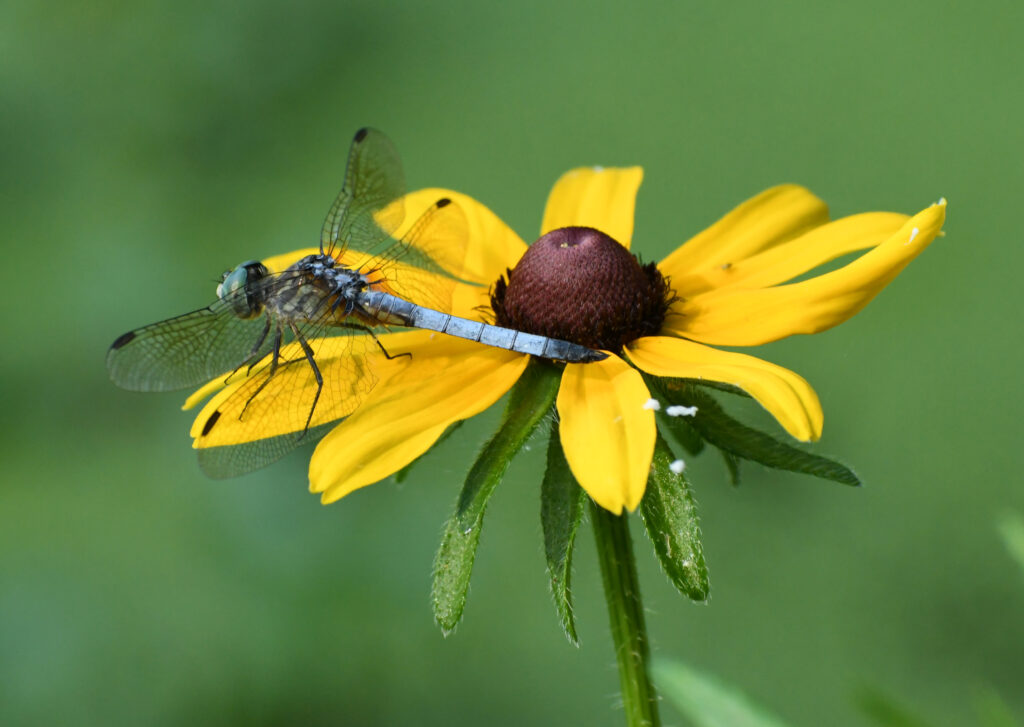 Blue dasher on black-eyed susan, Prosect Park