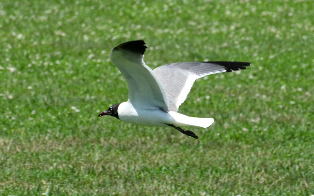 Bonaparte's gull, Prospect Park