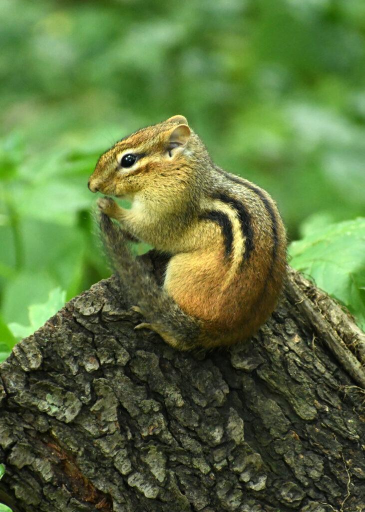 Chipmunk holding tail, Prospect Park
